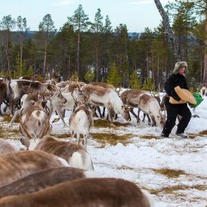 Reindeer herder in Finnish Lapland