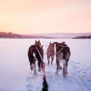 Huskies during polar dusk