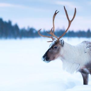 Reindeer in Lapland