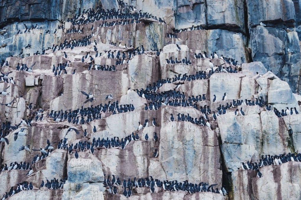 Countless Brünnich's guillemots on the Alkefjellet bird cliff