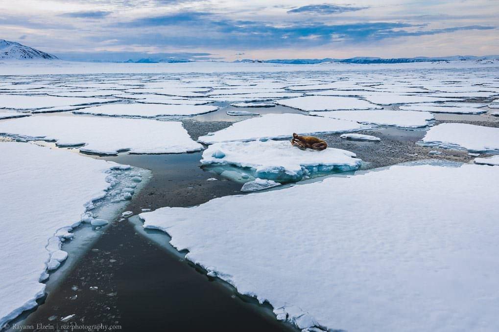 Morse sur la banquise au Svalbard