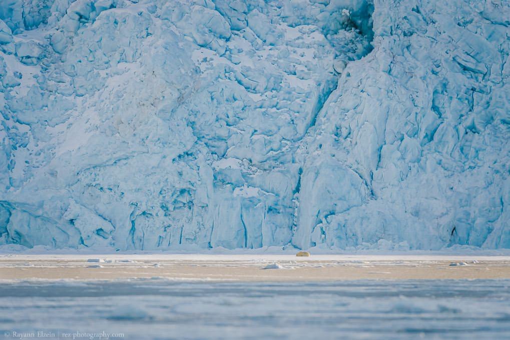 Ours polaire endormi devant un glacier à Raudfjorden