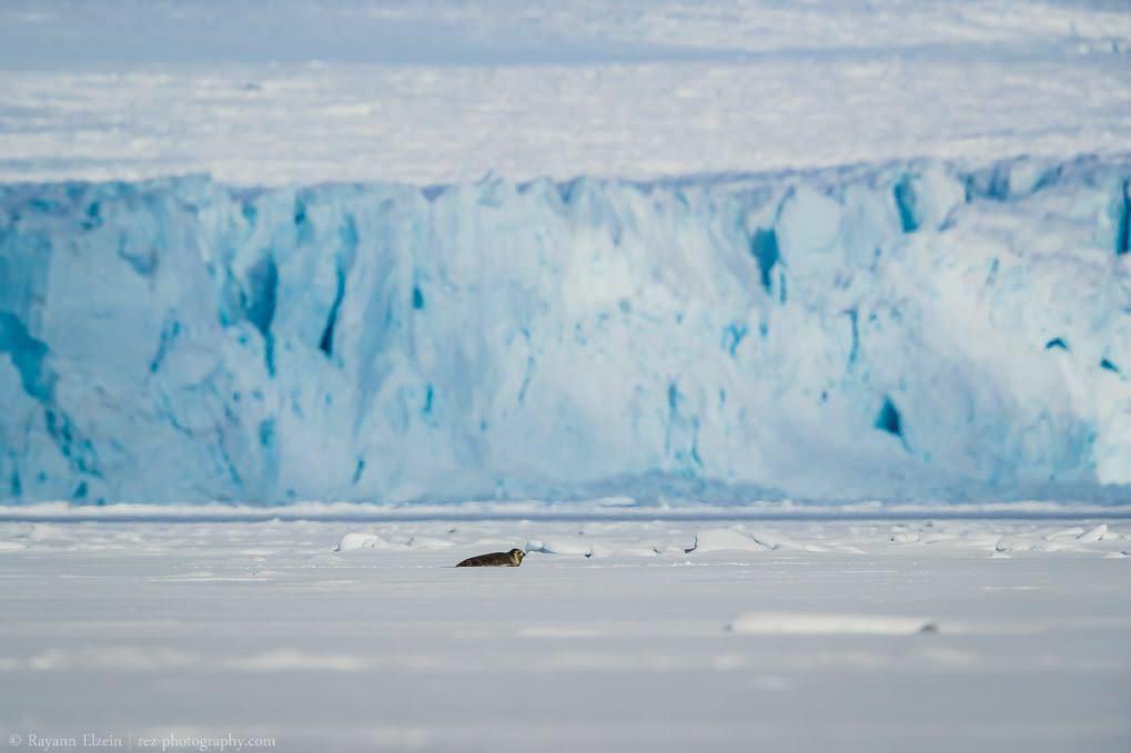 Phoque annelé sur la banquise à Wahlenbergfjorden à Svalbard