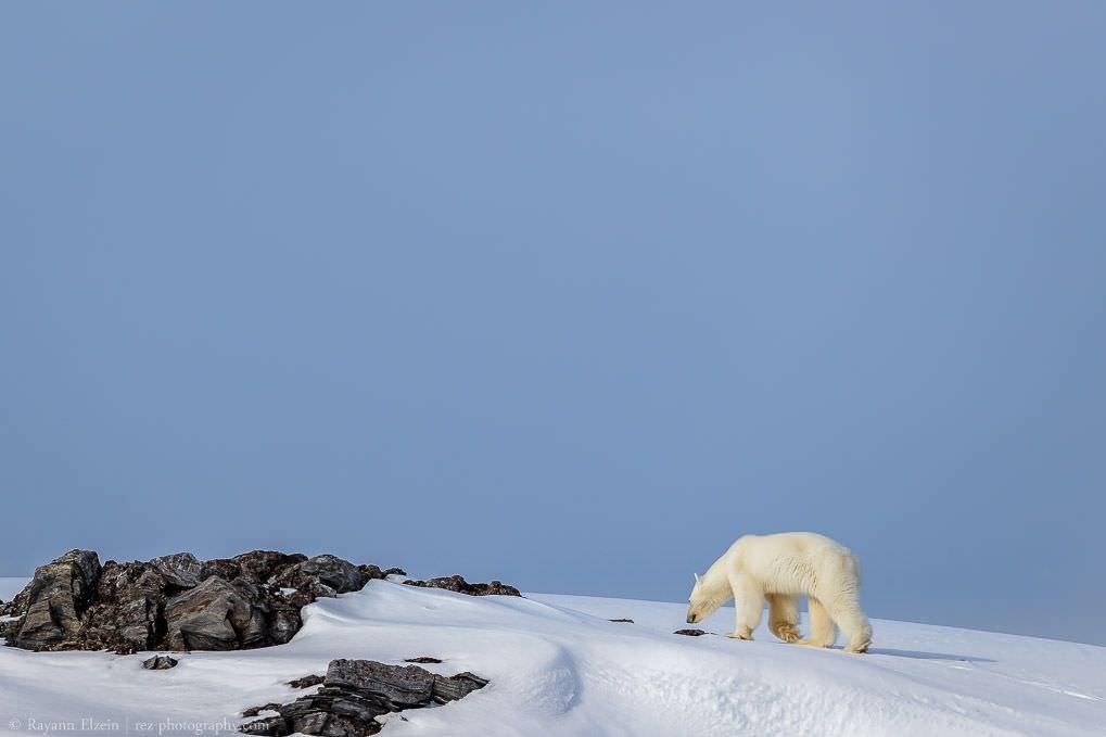 Ours polaire sur l'île de Karl XII à Svalbard