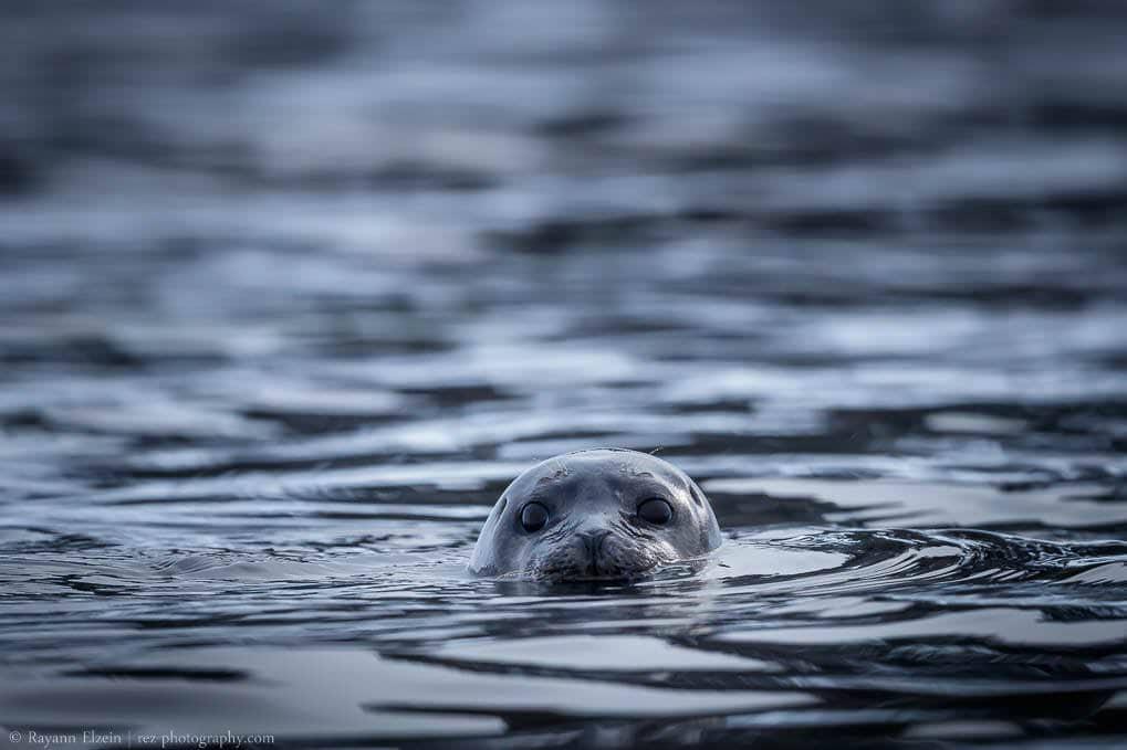 Un phoque commun nage au Svalbard