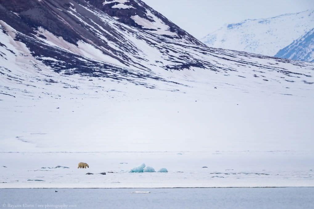 Ours polaire et montagnes à Nordfjorden à Spitsbergen