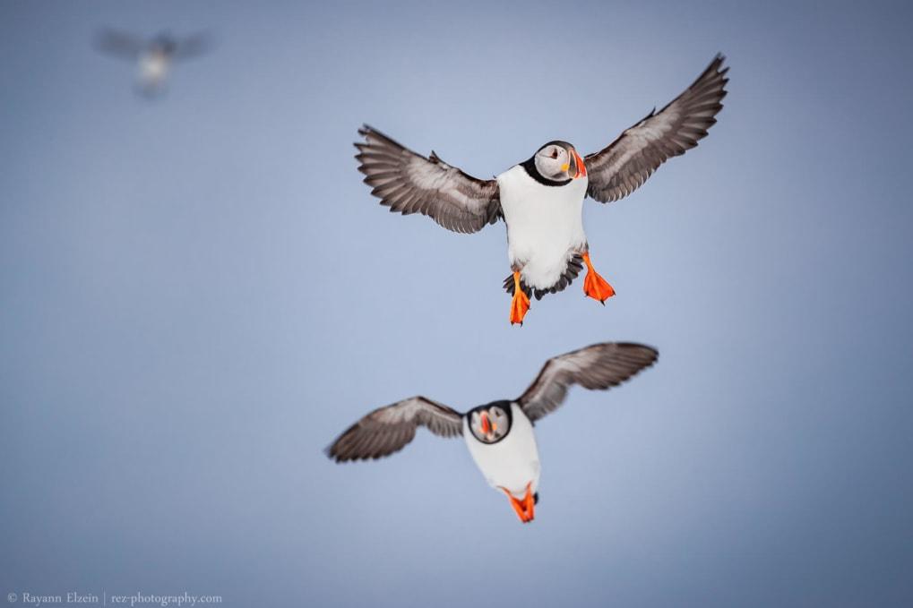 puffins landing on Hornøya island while birding in Varanger