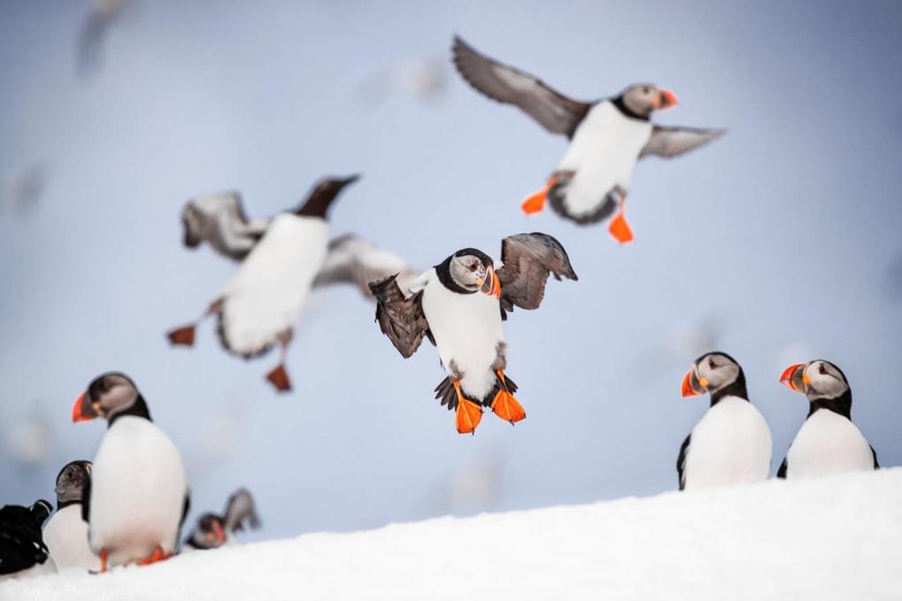 puffins flying on Hornøya island