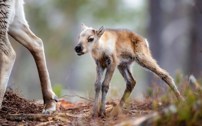 Saison de vêlage des rennes en Laponie