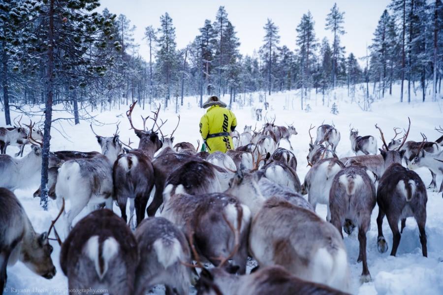 Reindeer herder Petri Mattus feeding his reindeer