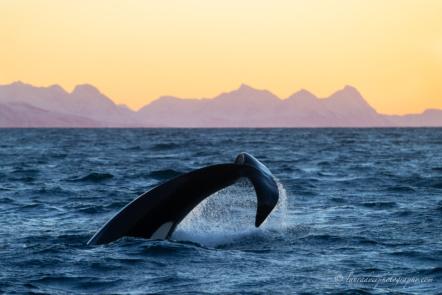 Orca diviing in Norway